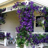 Purple Clematis around patio
