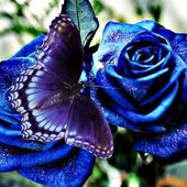 Blue Butterfly on Blue Roses