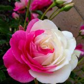 Beautiful Pink & White Rose