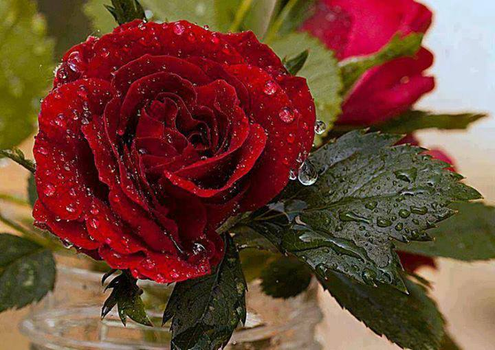 An awesome wet red rose