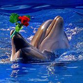 Dolphins Catch Flowers