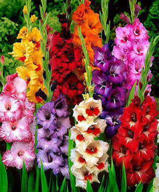 Colorful Gladioluses