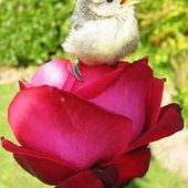 A bird on red rose
