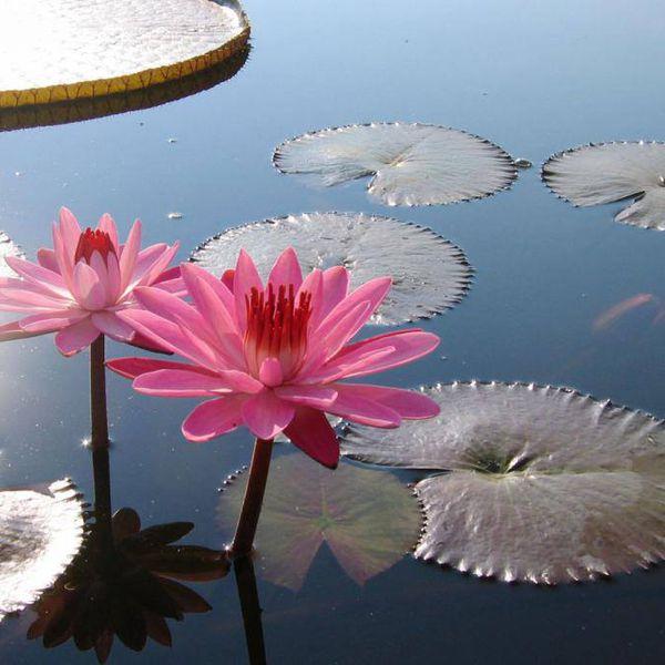 Beautiful Waterlilies