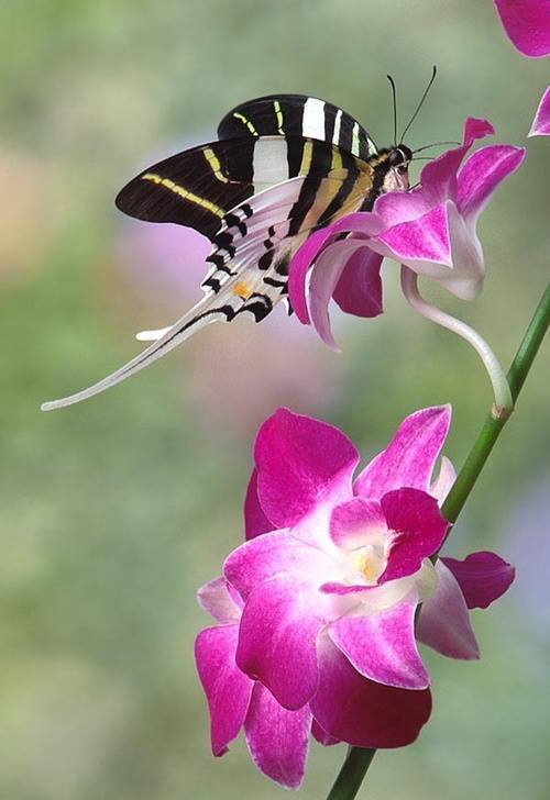 Swordtail Butterfly on an Orchid