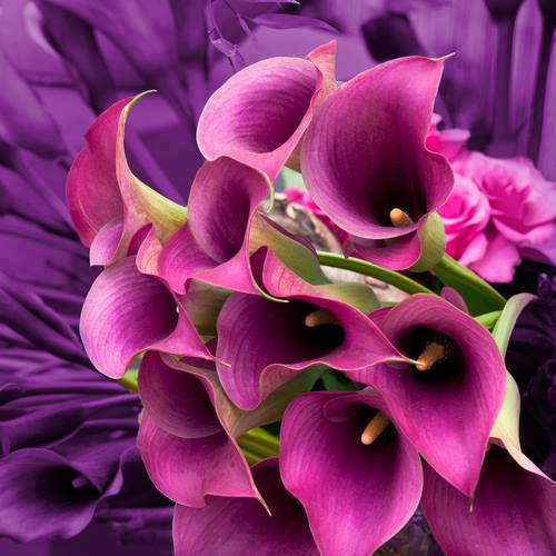 Bunch of purple Calla Lilies