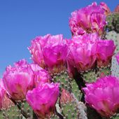 Beavertail Cactus blooms in spring