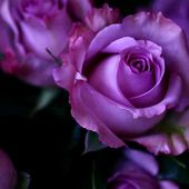 Awesome purple roses