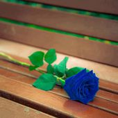 Gorgeous blue rose