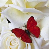 Red butterfly on white roses
