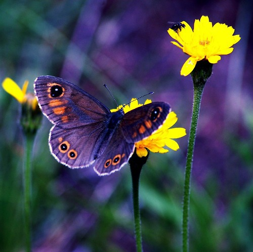 Purple butterfly and yellow flower