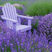 Lavender chair in a lavender field