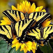 Trio of Western Tiger Swallowtail Butterflies