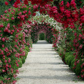 A canopy of roses