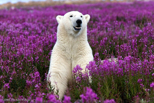 Polar bear in spring