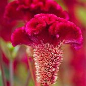 Red Cockscomb Flower