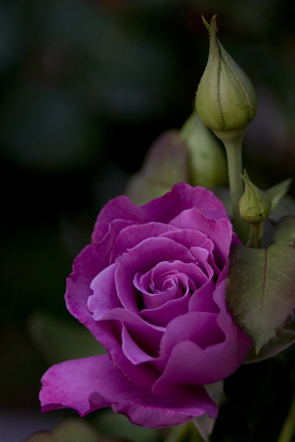 Purple rose bud