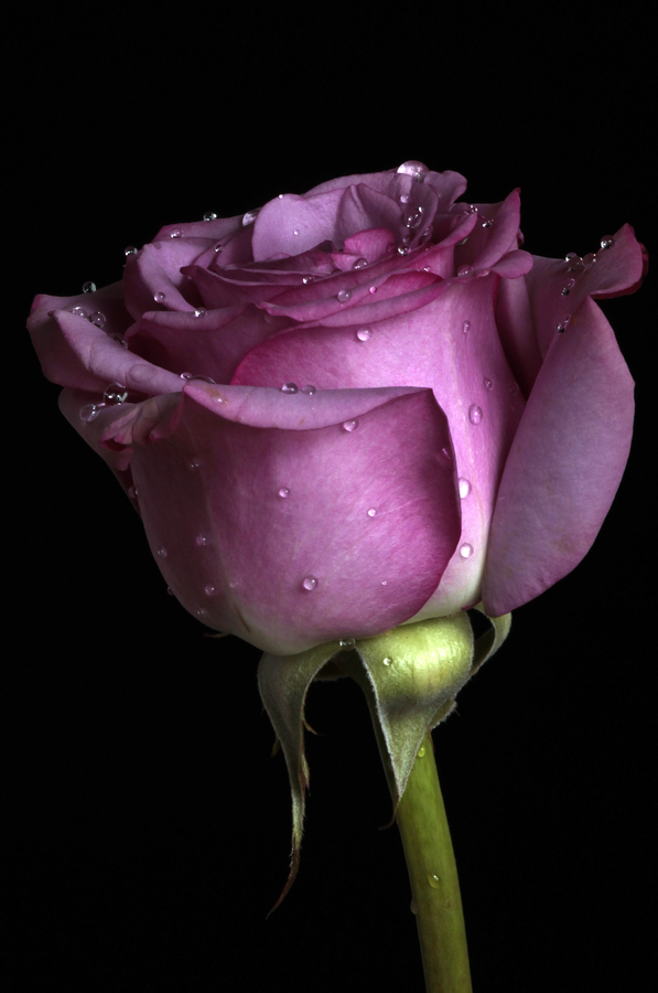 Awesome purple rose
