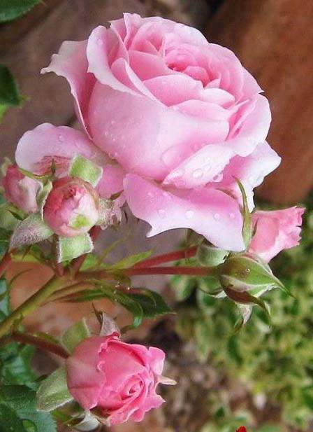 Garden Pink Roses with Dew Drops