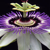 Gorgeous Passion Flower