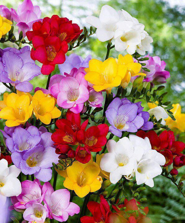 Mixed colorful Freesias