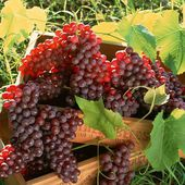 Fresh Grapes in Vineyard, Grape clusters