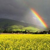 Mustard plants, Fremont, California