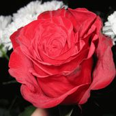 Awesome red rose