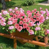 Pink roses in wooden wheelbarrow