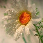 White daisy with dew drops