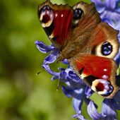 Peacock butterfly on a flower