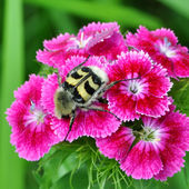 Beetle on pink flowers