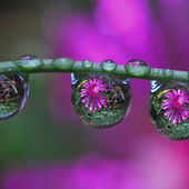 Purple Flowers through drops of water