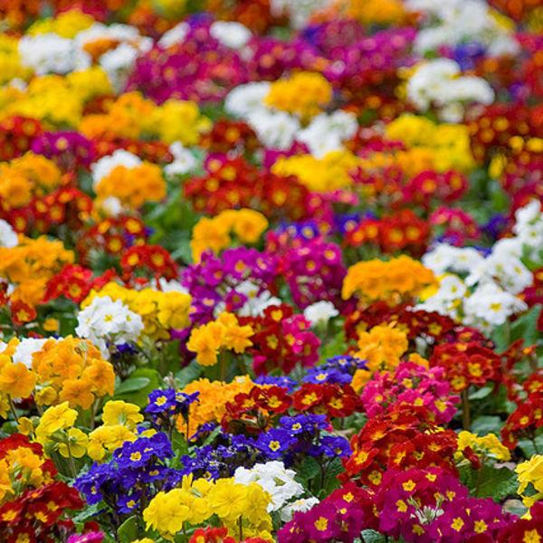 Primrose Colors