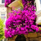 Bougainvillea in San Francisco