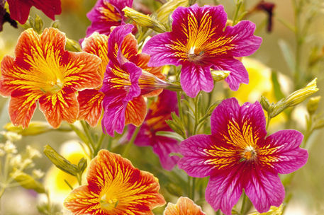 Salpiglossis - Painted Tongue