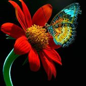 Blue Butterfly on a Red Flower