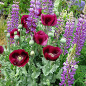 Papaver Lauren's Grape and Lupinus perennis