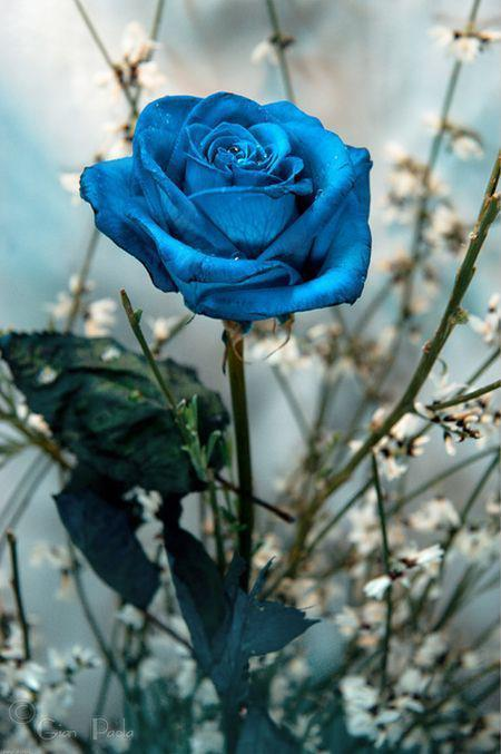 single blue rose