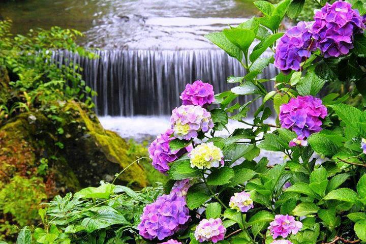 Waterfall and Colorful Hydrangea