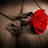 Single red rose on floor