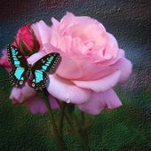 Beautiful butterfly on a pink rose