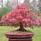 Red Japanese Maple bonsai