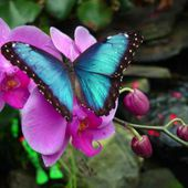 Blue butterfly on pink orchid