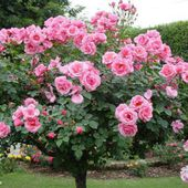 Awesome Pink Rose Tree