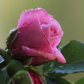 Tender pink rose with raindrops