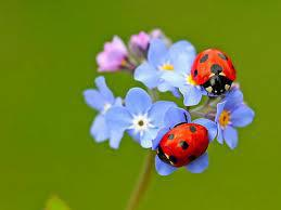 Ladybugs on Forget-me-not flowers
