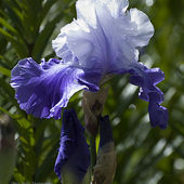 Blue and white bearded Iris