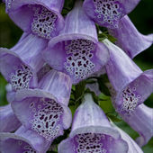 Foxgloves as known as Digitalis