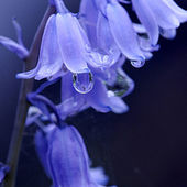 Perwinkle flowers with dew drops